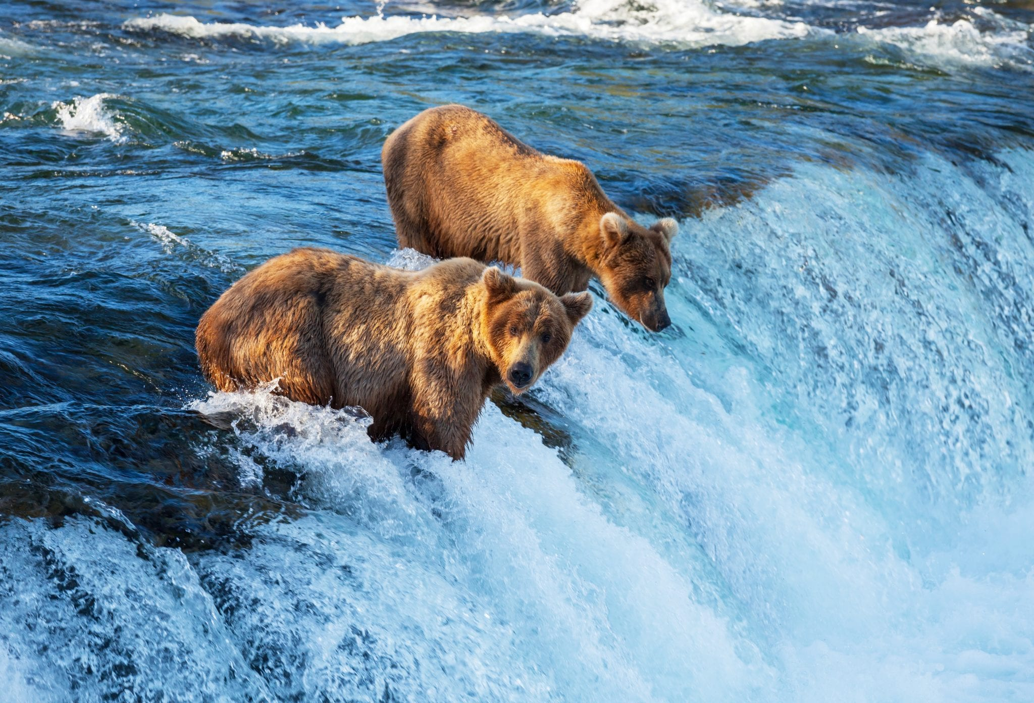 Bears fishing for salmon Alaska
