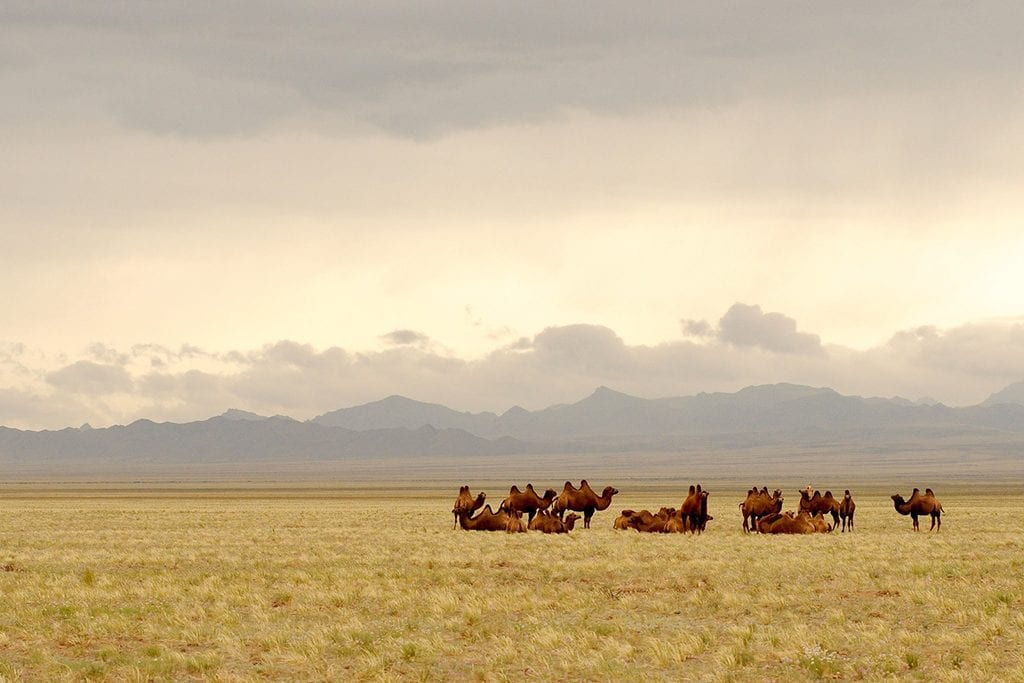 Wildlife in Gobi Desert